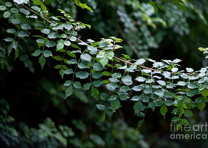 Green Greeting Card featuring the photograph Greens by Dan Holm