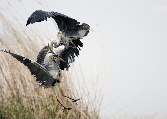 Animal Greeting Card featuring the photograph Grey Herons Fighting by Science Photo Library