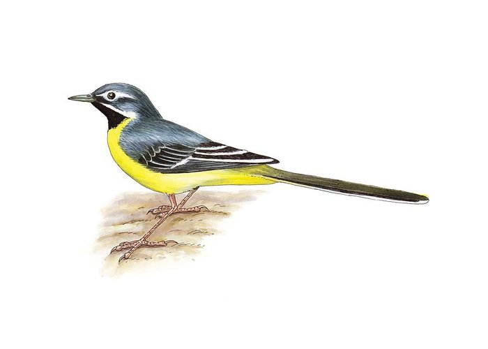 Cutout Greeting Card featuring the photograph Grey Wagtail, Artwork by Science Photo Library