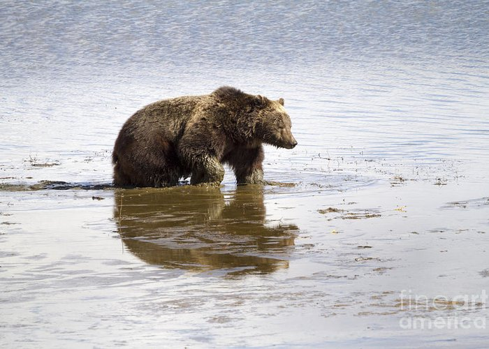 Adult Greeting Card featuring the photograph Grizzly Bear In Muddy Water by Mike Cavaroc
