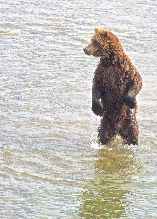 Grizzly Bear Standing To Get A Better Look Greeting Card featuring the photograph Grizzly Bear Standing To Get A Better Look In The Moraine River In Katmai by Ruth Hager