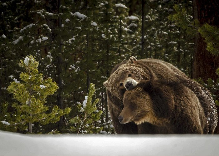 Grizzly Bear Photographs Greeting Card featuring the photograph Grizzly's Courting by Bruce J Barker