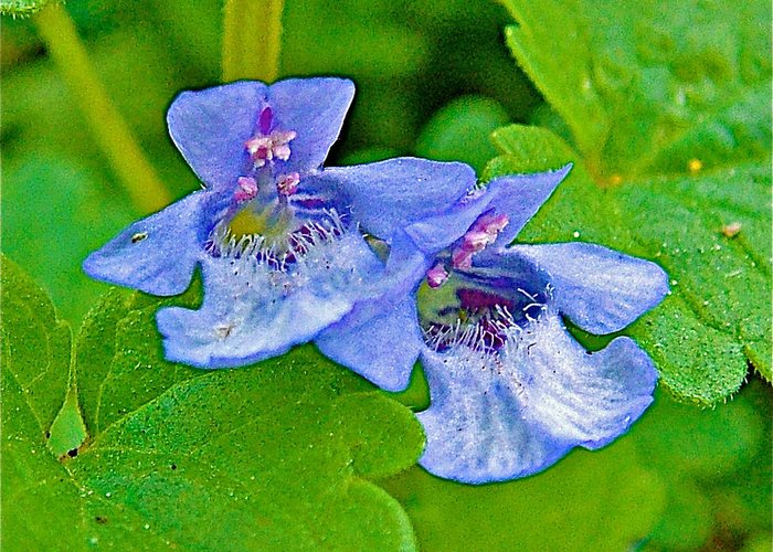 Ground Ivy Of Alamo-michigan Greeting Card featuring the photograph Ground Ivy Near Alamo-michigan by Ruth Hager