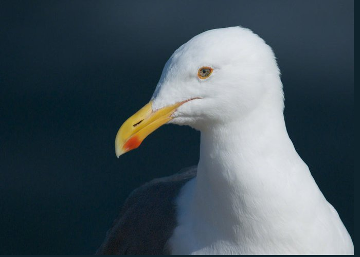 Western Gull Greeting Card featuring the photograph Gull Watcher by Bob Smithing