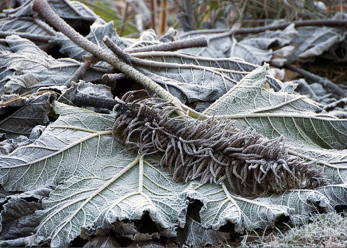 Frost Greeting Card featuring the photograph Gunnera Sp by Science Photo Library
