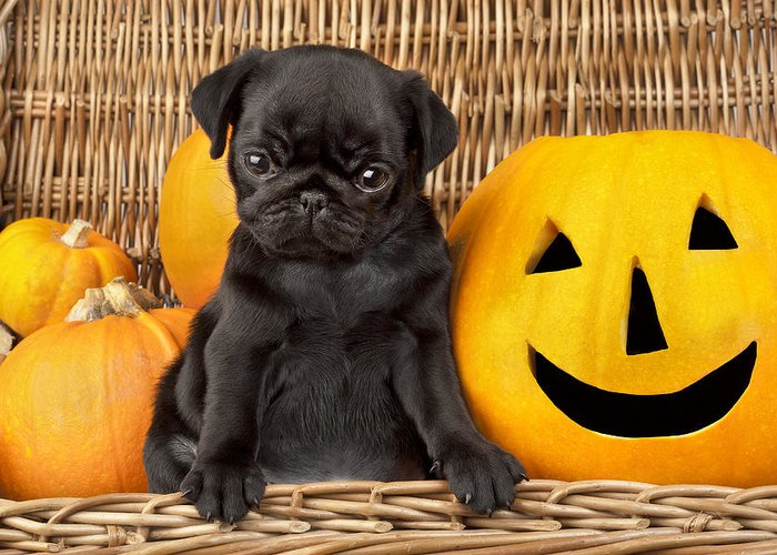 Puppy Greeting Card featuring the photograph Halloween Pug by Greg Cuddiford