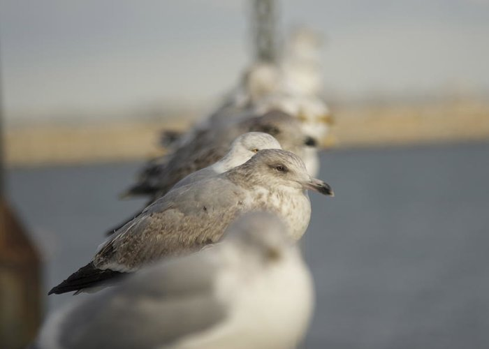 Seagulls Greeting Card featuring the photograph Hanging Around by Eugene Bergeron