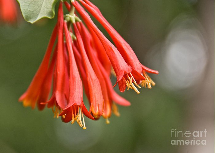 Honeysuckle Greeting Card featuring the photograph Hanging Honeysuckle by Cheryl Baxter