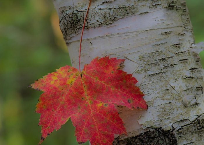 Maple Greeting Card featuring the photograph Hanging In There by Pat Lucas