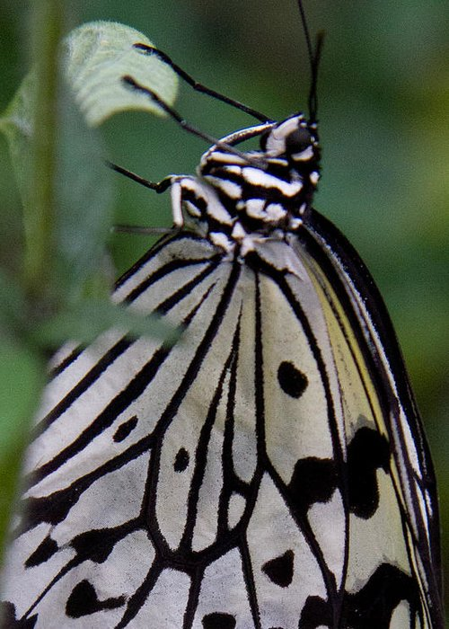 Butterfly Greeting Card featuring the photograph Hanging On by Natalie Rotman Cote