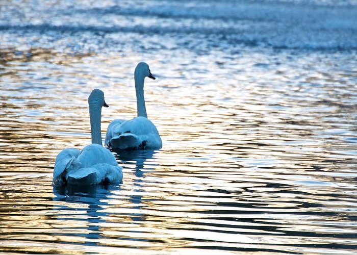 Swans Greeting Card featuring the photograph Happily Ever After by Tammy Richardson