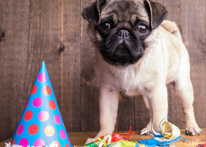Dog Greeting Card featuring the photograph Happy Birthday Cute Pug Puppy by Edward Fielding