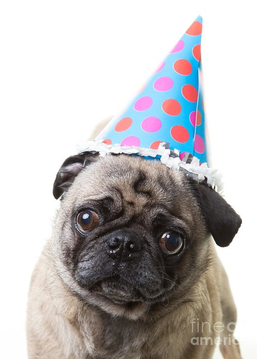 Animal Greeting Card featuring the photograph Happy Birthday Pug Card by Edward Fielding