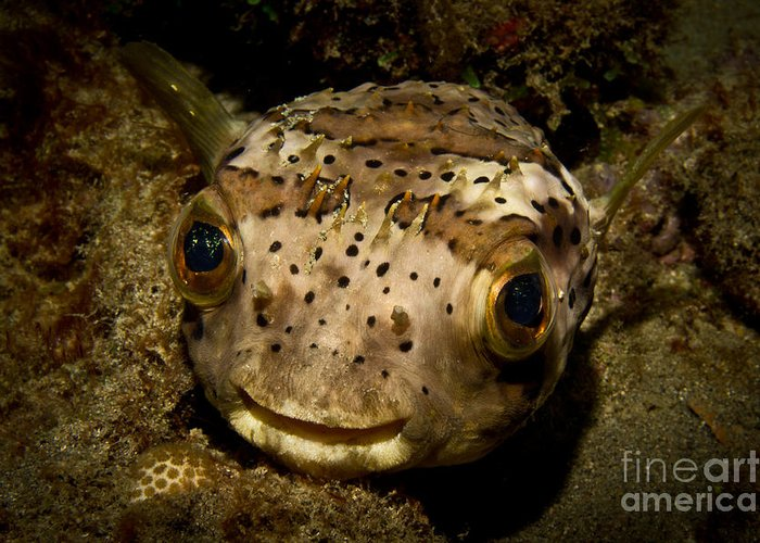 Porcupine Fish Greeting Card featuring the photograph Happy Fish by Craig Dietrich