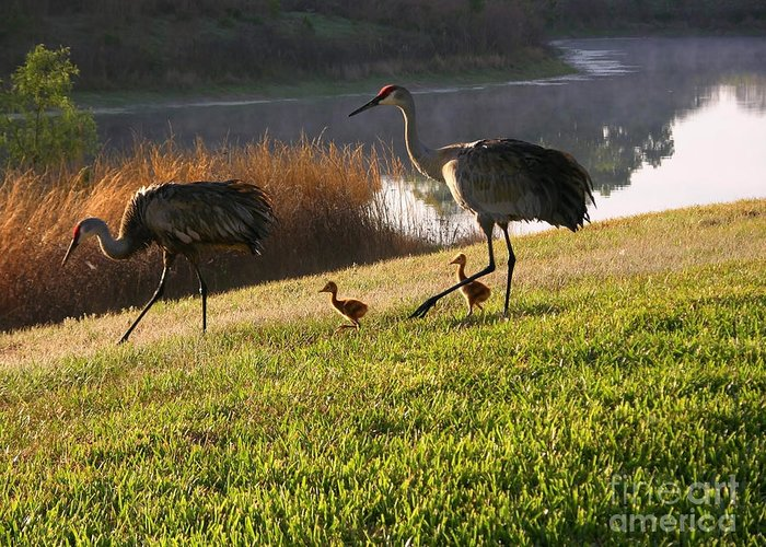 Sandhill Cranes Greeting Card featuring the photograph Happy Sandhill Crane Family - Original by Carol Groenen