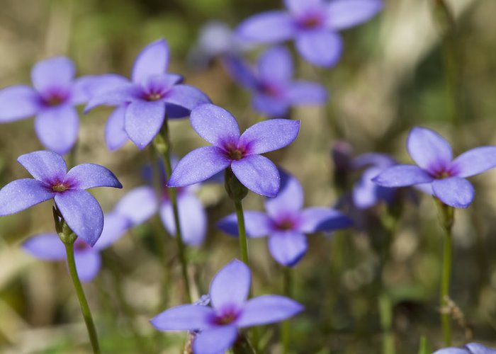 Tiny Bluet Greeting Card featuring the photograph Happy Tiny Bluet Wildflowers by Kathy Clark