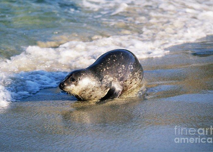 Fauna Greeting Card featuring the photograph Harbor Seal by David Davis