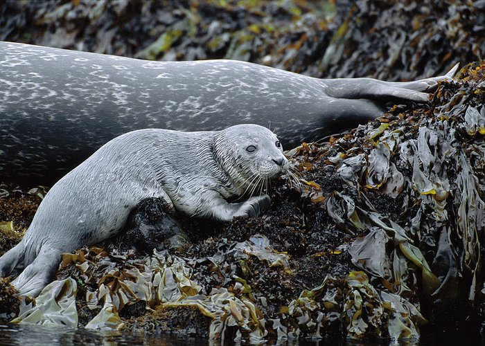 Color Image Greeting Card featuring the photograph Harbor Seal Pup Resting by Suzi Eszterhas
