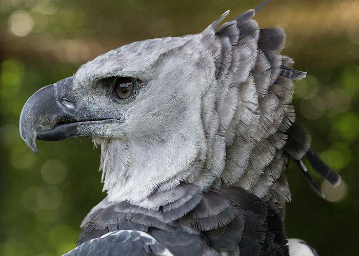 Harpy Eagle, Harpia Harpyja Greeting Card For Sale By Jon ...