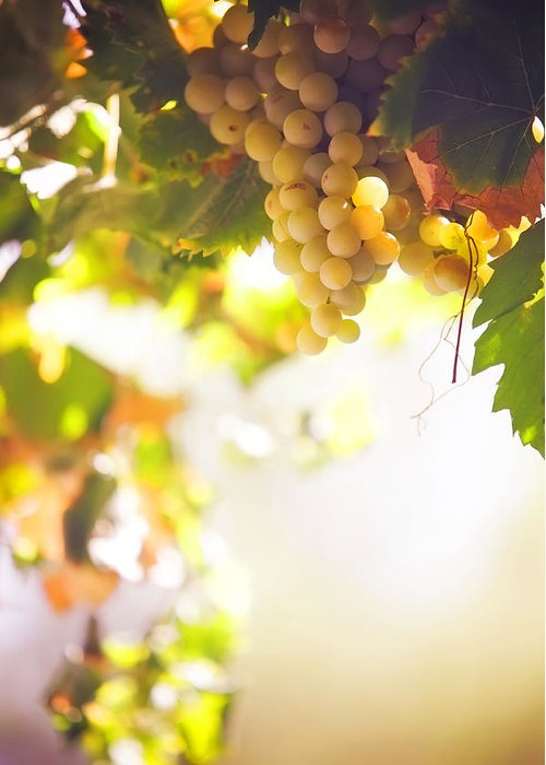 Grape Greeting Card featuring the photograph Harvest Time. Sunny Grapes I by Jenny Rainbow