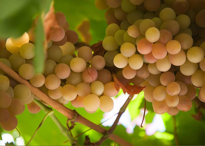 Grape Greeting Card featuring the photograph Harvest Time. Sunny Grapes II by Jenny Rainbow