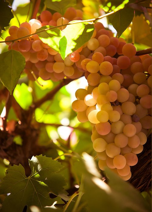 Grape Greeting Card featuring the photograph Harvest Time. Sunny Grapes IIi by Jenny Rainbow
