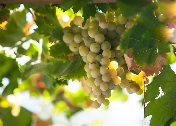 Grape Greeting Card featuring the photograph Harvest Time. Sunny Grapes Iv by Jenny Rainbow