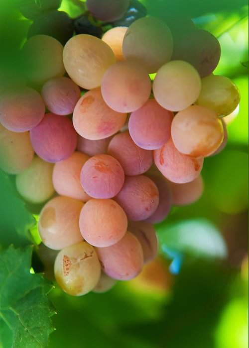 Grape Greeting Card featuring the photograph Harvest Time. Sunny Grapes by Jenny Rainbow
