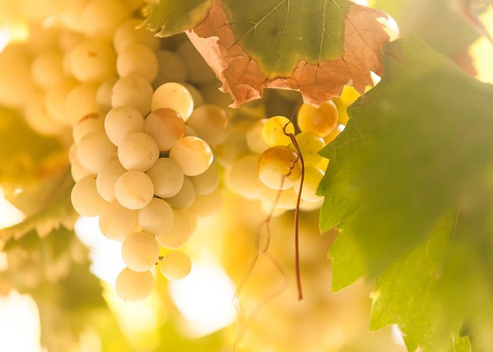 Grape Greeting Card featuring the photograph Harvest Time. Sunny Grapes Vi by Jenny Rainbow
