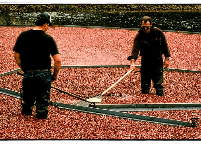 Harvest Greeting Card featuring the photograph Harvesting Cranberries by Mike Martin