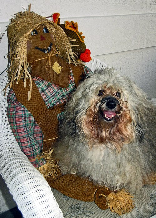 Havanese Dog Greeting Card featuring the photograph Havanese Dog by Sally Weigand