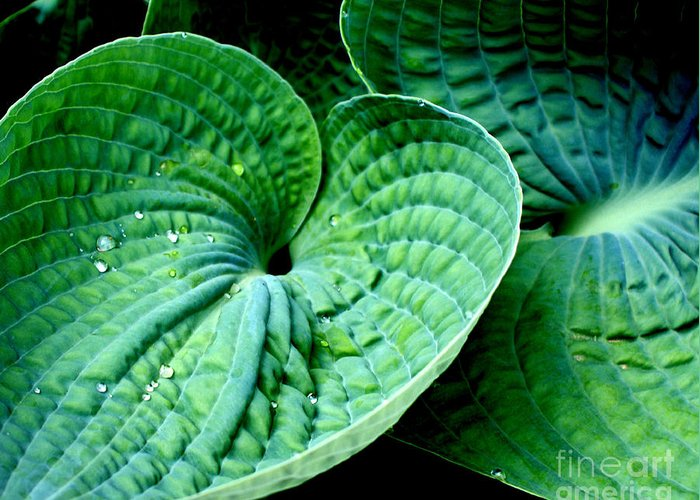 Hosta Greeting Card featuring the photograph Have A Heart by Valerie Fuqua