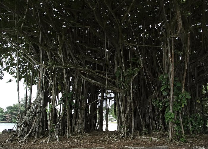 Banyan Greeting Card featuring the photograph Hawaiian Banyan Tree - Hilo City by Daniel Hagerman