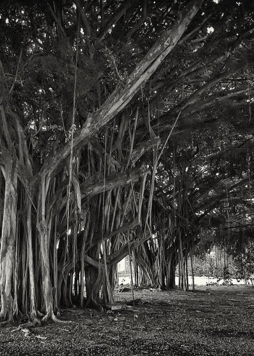 Banyan Greeting Card featuring the photograph Hawaiian Banyan Tree Root Study by Daniel Hagerman