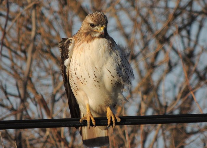 Redtail Hawk Greeting Card featuring the photograph Hawk #21 by Todd Sherlock