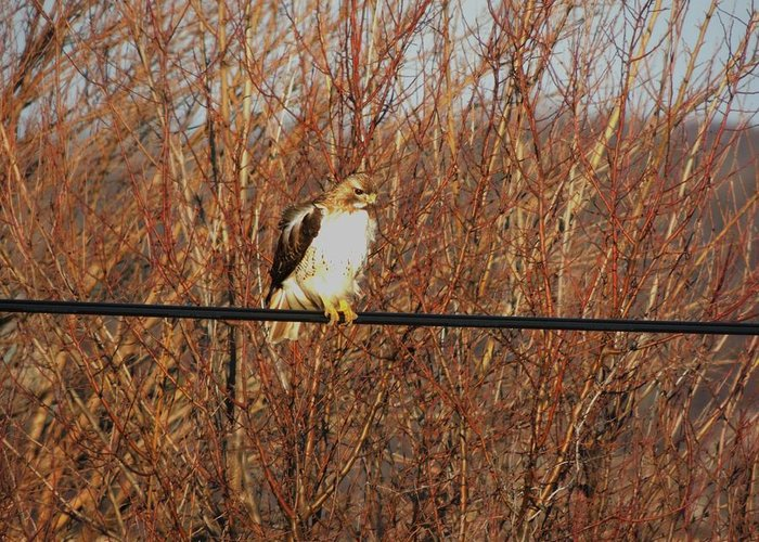 Red Tail Hawk Greeting Card featuring the photograph Hawk #22 by Todd Sherlock