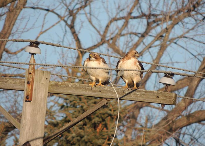 Two Hawks On A Telephone Pole Red Tail Greeting Cards