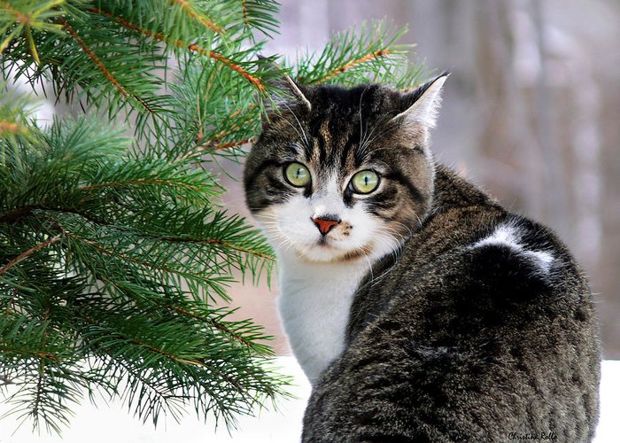 Cat Greeting Card featuring the photograph Hazel Eyes And Pine by Christina Rollo