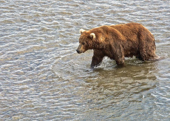 Head Grizzly Bearl Greeting Card featuring the photograph Head Grizzly Bear With Intense Fishing Focus For Salmon In Moraine River In Katmai Np-ak by Ruth Hager
