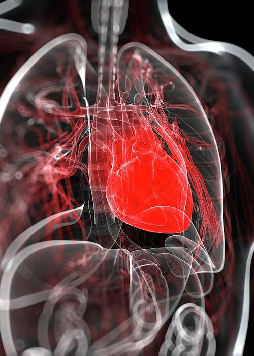 Physiology Greeting Card featuring the digital art Heart Anatomy, Artwork by Sciepro