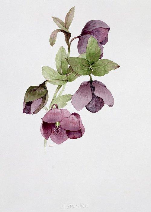 Botanical; Flower Greeting Card featuring the painting Helleborus Atrorubens by Sarah Creswell