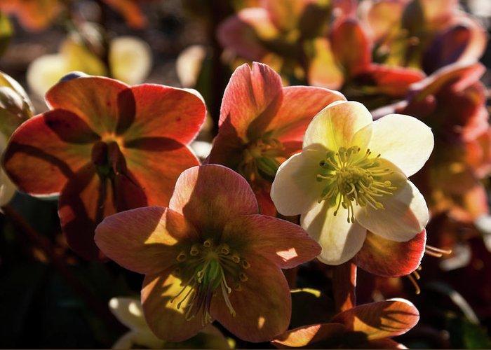 Helleborus Greeting Card featuring the photograph Helleborus Backlight Blossoms by Douglas Barnett