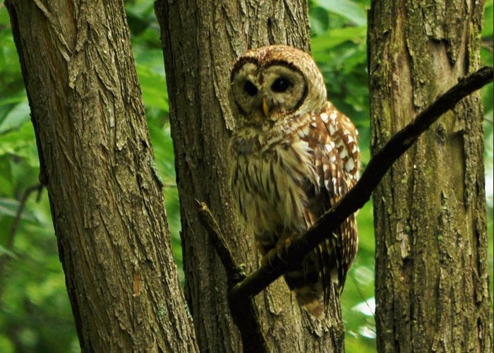 Barred Owl Greeting Card featuring the photograph Hello Barred Owl by William Fox