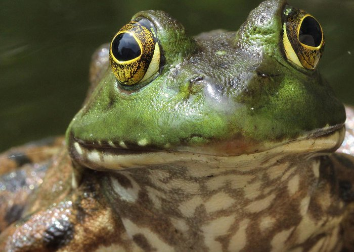 Frogs Greeting Card featuring the photograph Hello by Bruce Morrell