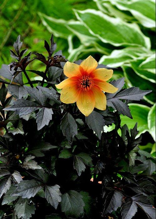 Yellow And Orange Dahlia; Hostas; Flower; Black Leaves; Orange Center. Greeting Card featuring the photograph Hello Dahlia by Larry Jones