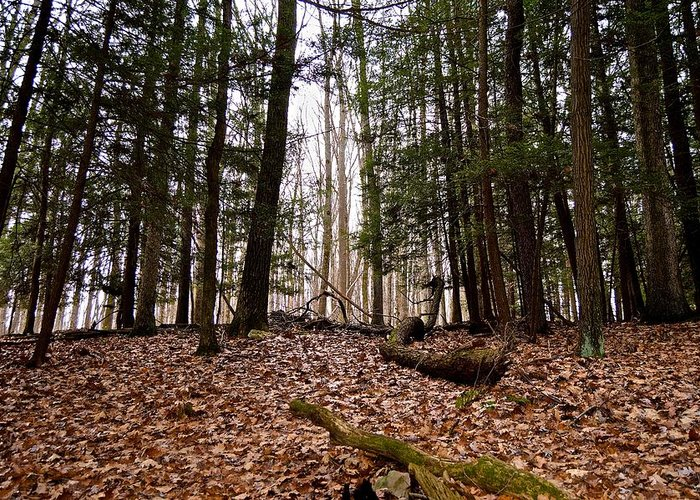 Pennsylvania Greeting Card featuring the photograph Hemlock Forest by Jake Donaldson