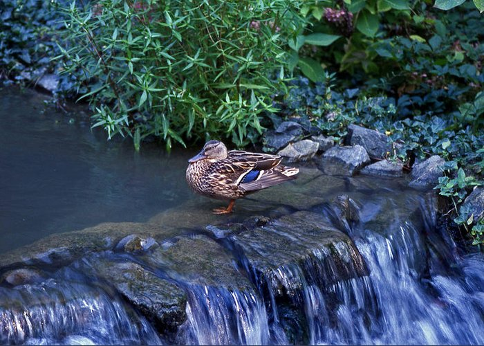 Mallard Greeting Card featuring the photograph Hen Fall by Skip Willits