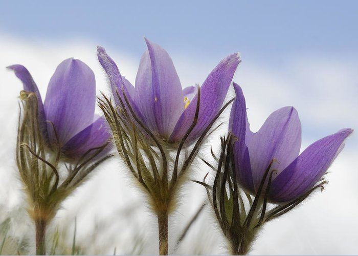 Crocus Greeting Card featuring the photograph Heralding Spring by Clay and Gill Ross