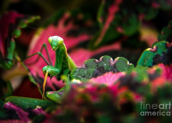 Praying Mantis Greeting Card featuring the photograph Here I Am by Robert Bales