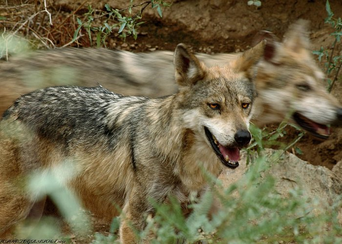 Wolves Greeting Card featuring the photograph Here Today Gone Tomorrow by Elaine Malott
